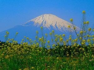 富士山と菜の花.jpg